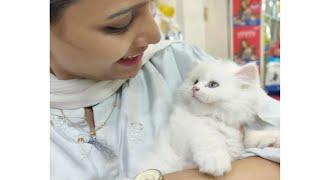 Snow white Persian semi punch kitten for sale in nagpur  mumbai   spa  grooming  cutekittens