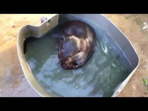 Perhentian Island, Malaysia - Pet Otter