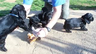 Cocker Spaniel Puppies 22420