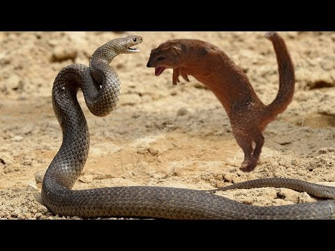 Snakes Fight Mongoose To Death   Snake Vs Mongoose Best Attack In Africa