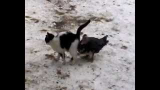 кошка и утка любовь