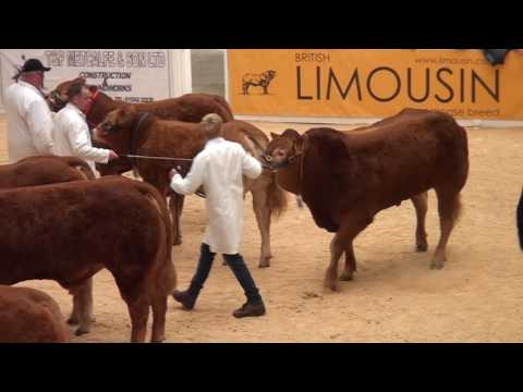 Championship Judging National Limousin Show 2016