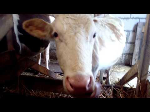 Вопрос: От чего зависит длина языка у коровы?