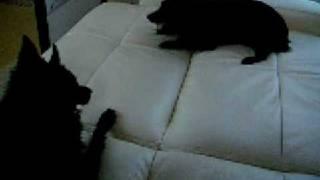 猫そっくりの声でニャ~オンと鳴く犬、スキッパーキのエボニー。 14秒で...