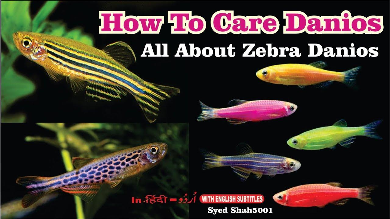 Danios Fish Care Tips Zebra Danio Care The Ultimate Guide To Care