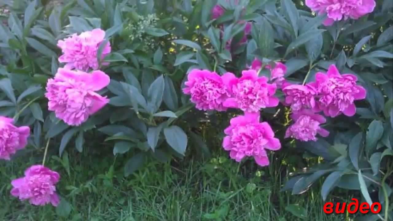 Дачные цветы многолетние