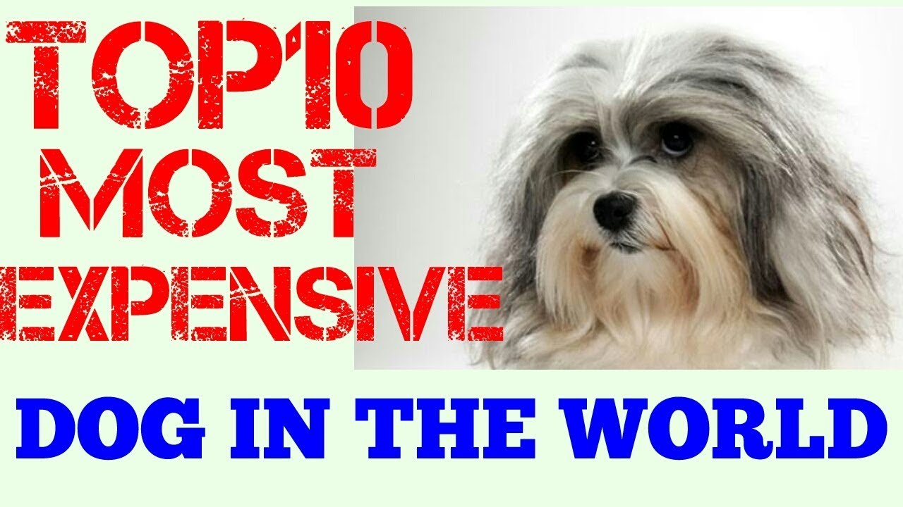 Top 10 most expensive dogs in the world 2017 top 10 dog for What are the best dogs in the world