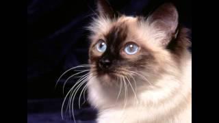 Священная бирма, или бирманская кошка (Birman cat) породы кошек( Slide show)!