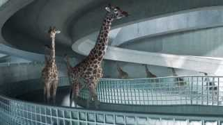 High Diving Giraffes thumbnail