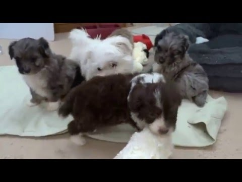 Toy Aussie Doodle Puppies in the groom shop