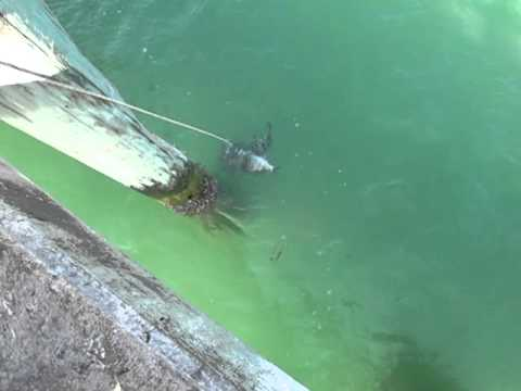 Fishing for sheepshead at fort de soto bay pier 3 7 2012 for Fort desoto fishing pier