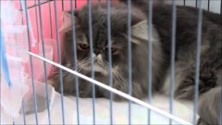 Выставка кошек в Благовещенске