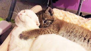 Кот Пусси (после кастрации) и котёнок рыси :3 Ханне здесь 40 дней