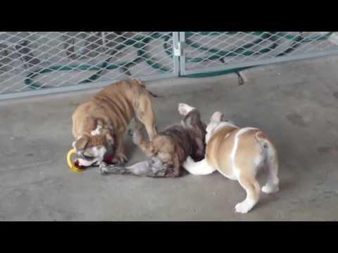 Big Papi Bulldogs- CH Bigpapibull Sundance Kid x Martmorebulls Ginger
