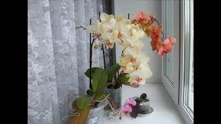 Уход за орхидей: Phalaenopsis отцвел, что делать?  часть 1(Почему не следует торопиться обрезать отцвевший цветонос у орхидеи . Делюсь своим опытом. часть 2 : http://youtu.be/P..., 2014-06-14T11:10:34.000Z)