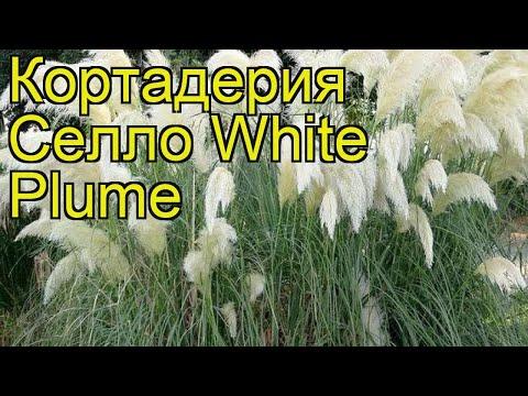 Кортадерия селло Вайт Плум (White Plume). Краткий обзор, описание характеристик, где купить саженцы