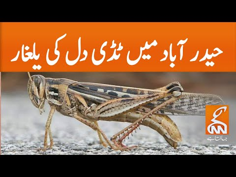 Locust invasion in Hyderabad | GNN | 08 May 2020