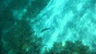 Подводная охота на кефаль в Хорватии(Глубина ~3 метра, подход с солнечной стороны, нырять практически не приходится., 2011-03-12T11:54:53.000Z)