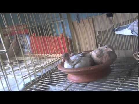 Cross Breed Yellow Nun Baby Pigeon - YouTube
