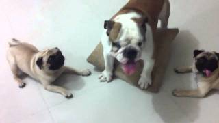 Pugs Vs Bulldog