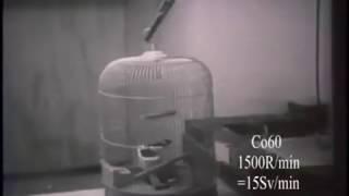 即死放射能照射動物実験(100Sv) 1957年「世界は恐怖する」から
