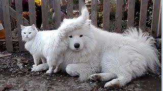 Beautiful white animals. Белый ПЁС и белый КОТ. Самоед и его любимая кошка. Одесса.
