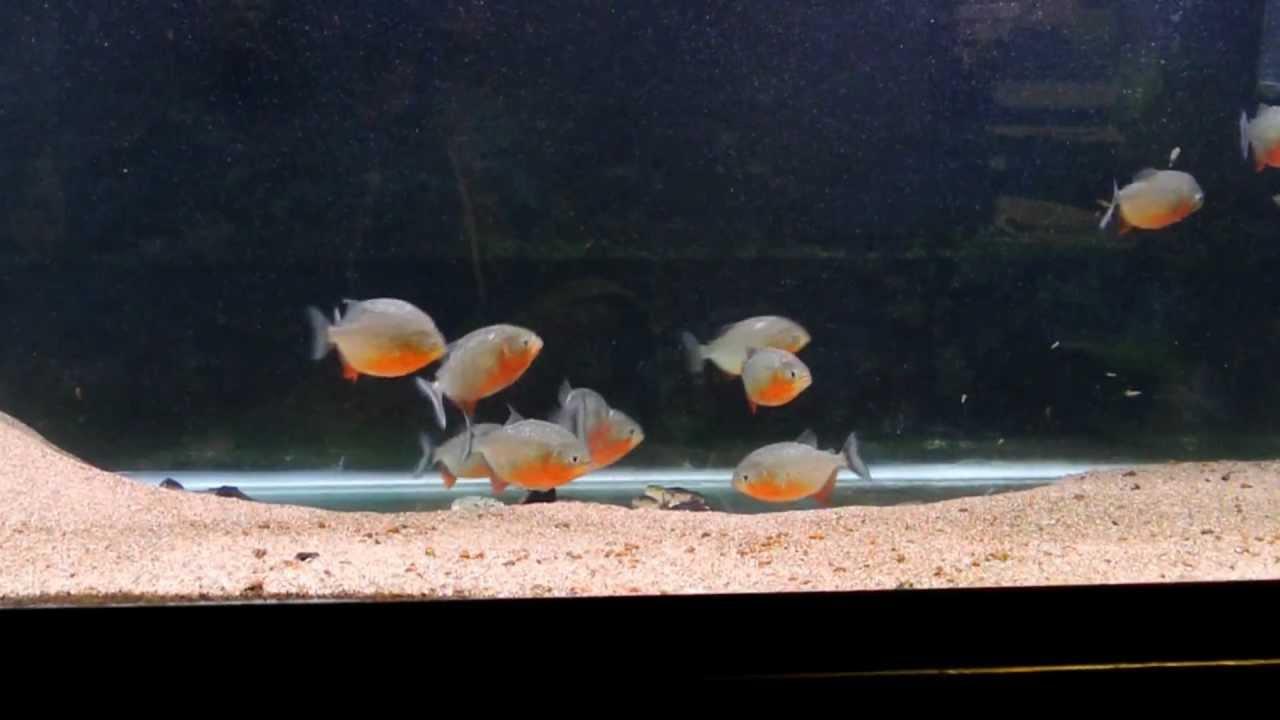 Freshwater aquarium fish piranha - Freshwater Aquarium Fish Piranha