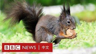 肺炎疫情:人類禁足為野生動物帶來生機- BBC News 中文