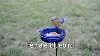 Wild Bird House : Eastern Bluebirds Feeding & Sharing Mealworms Backyard Bird Watching