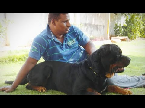 Rottweiler Growing Youtube