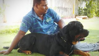 Suren's Kimbo Of Vilzo Rottweiler Growth Stages Pictures