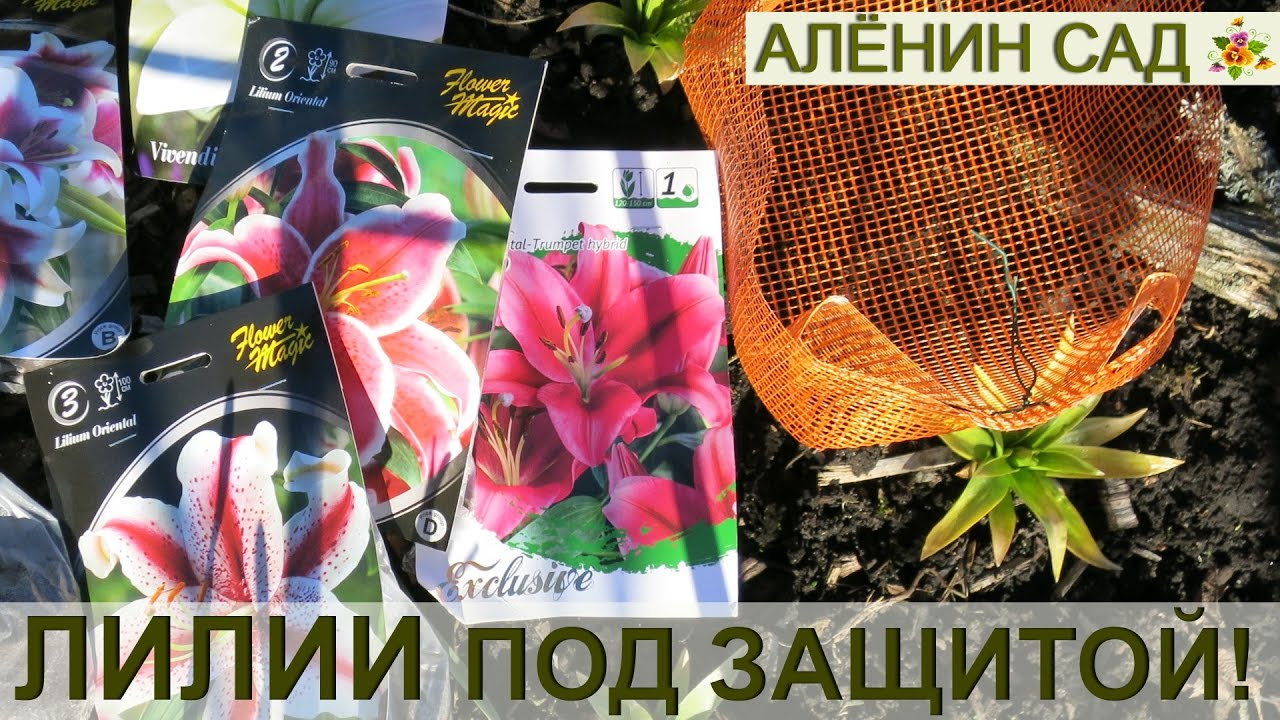ЛИЛИИ в корзинках - 100% ЗАЩИТА от мышей и водяных крыс!!! / Посадка лилий весной