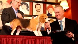 Westminster Dog Show 2015: A Beagle Takes Victory Lap