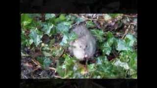 Survivor Rat From MV Lyubov Orlova Now Chasing Squirrels ?