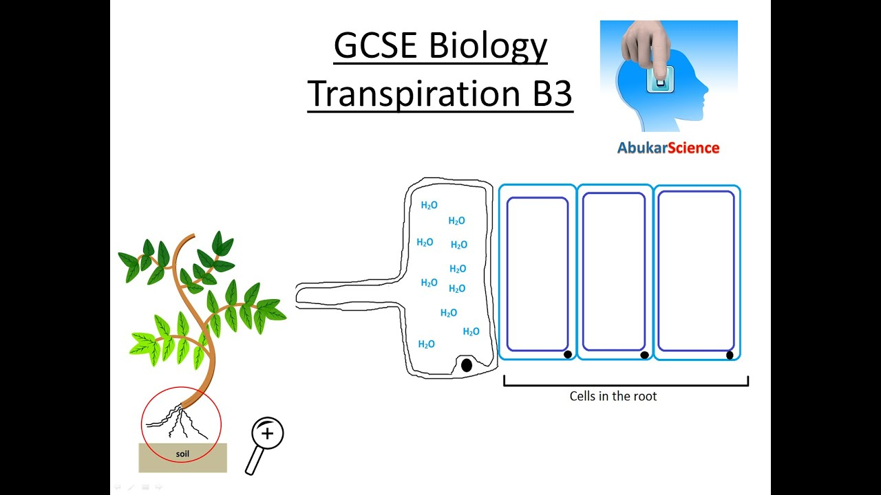 Gcse Biology Transpiration In Plants Aqa B3 Ocr Edexcel