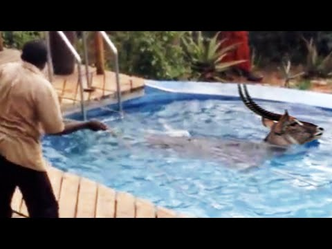 Saving a Waterbuck that is stuck in Water