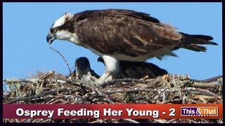 Osprey Feeding Her Young - 2