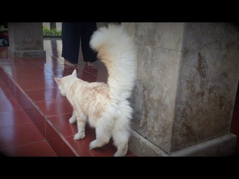 GOLDY : Kucing Maine Coon Jantan (Before - After)