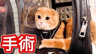 去勢手術で病院へ行った短足猫に変化が...