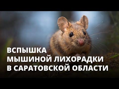 Вспышка мышиной лихорадки в Саратовской области. Что делать?