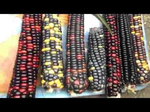 Цветная Кукуруза Ацтеков — Multicolor Aztec Corn