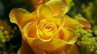 Bobbie Prins 18 Yellow Roses