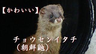 【かわいいイタチ】[Cute] Korea weasel, appeared suddenly.チョウセンイタチ、タヌキ、が突然現れました。
