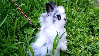 Декоративный кролик Юстас на прогулке со шлейкой.