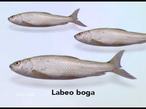 Fresh water fishes of India