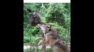 COYOTE - SKIN, FLESH, BREAK - Furbearing Animals - Video  2 of 2
