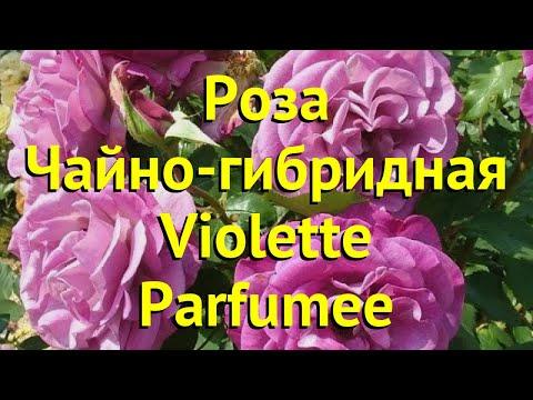Роза чайно-гибридная Вайолет Парфюме. Краткий обзор, описание характеристик Violette Parfumee