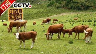 走遍中国 20161123 深山牛司令   cctv 4