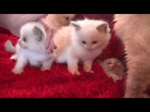 Blues, Seals, Bi-colors, Lynx  Ragdoll Kittens November 12, 2016- A Ragdoll To Love Cattery