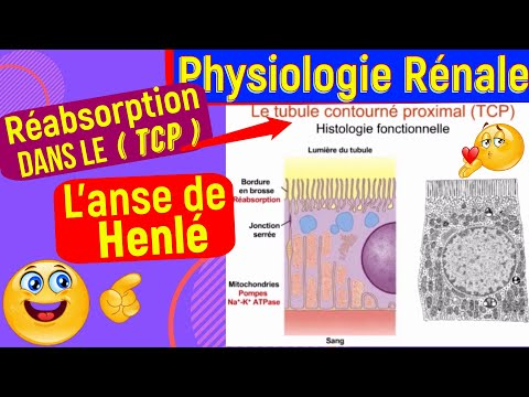 La Réabsorption dans le tubule contourné proximal et l'anse de Henlé [[Physiologie Rénale]]